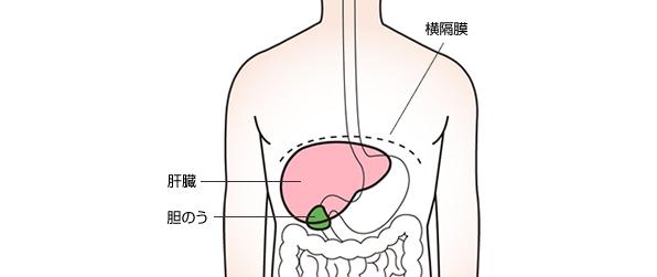 人体における肝臓の位置をあらわすイラスト