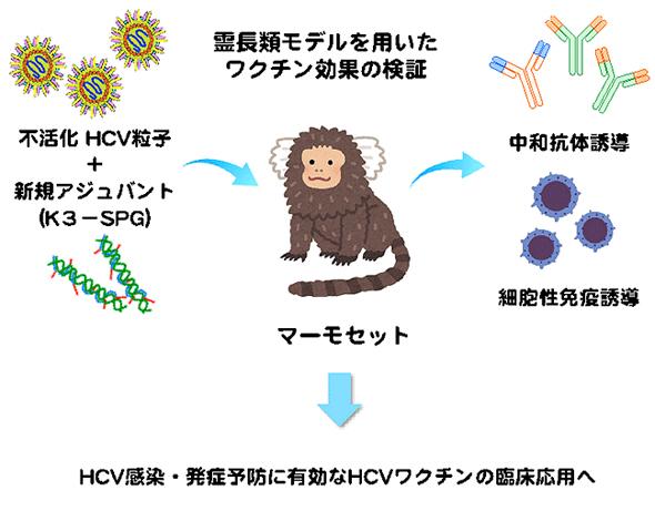 霊長類モデルを用いたワクチン効果の検証イラスト画像