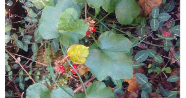 フユイチゴのリーフと果実